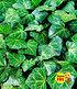 "Efeu ""Baltica"",3 Pflanzen (1)"