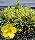 """Fingerstrauch """"Goldfinger"""",1 Pflanze (1)"""