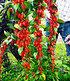 "Goji ""Sweet Lifeberry®"",1 Pflanze (1)"