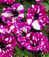 """Hänge-Petunie Purpurrote """"RoyalSKY®"""",3 Pflanzen (1)"""