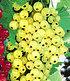 """Johannisbeere """"Goldgelbe Versailler"""",1 Pflanze (1)"""