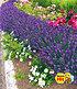 """Lavendel """"Blue Jeans"""",3 Pflanzen (1)"""