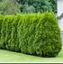 Mein schöner Garten Lebensbaum-Hecke Thuja Brabant (1)