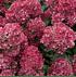 Mein schöner Garten Rispenhortensie (1)