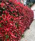 "Photinia-Hecke ""Red Robin"",1 Pflanze (1)"