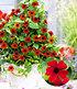 "Rote Thunbergia ""Brownii"",2 Pflanzen (1)"