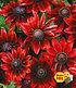 "Rudbeckia ""Cherry Brandy"",3 Pflanzen (1)"