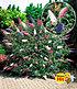 "Sommer-Flieder ""Papillion Tricolor"",1 Pflanze (1)"