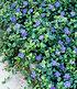 """Vinca minor """"Blau"""",3 Pflanzen (1)"""