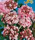 "Winter-Schneeball ""Charles Lamont"",1 Pflanze (1)"