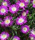"""Winterharte Eisblume """"Violett Wonder"""",3 Pflanzen (1)"""