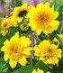"""Winterharte gefüllte Sonnenblume """"HAApy Days"""",1 Pflanze (1)"""