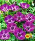 "Winterharte Geranie ""JollyJewel Lilac®"",1 Knolle (1)"