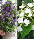 Winterharte Kletterpflanzen-Kollektion,2 Containerpflanzen (1)