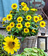 "Winterharte Sonnenblume ""SunCatcher®"",1Pflanze (1)"