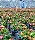 Winterharter Eisblumen-Mix imXXL Topf,1 Pflanze (1)