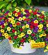 """Zauberglöckchen Petunie """"Carneval"""",3 Pflanzen, 3 in einem Topf (1)"""
