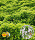 Zitronenthymian,3 Pflanzen (1)