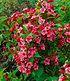 Mein schöner Garten Bienenfreundliche Hecke im Set, 5 Pflanzen (6)