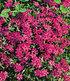 "Phlox-Mix ""Flowers of the Sea"",4 Pflanzen (6)"