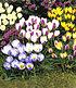 Bienenfreundliche Zwiebelblumen,147 Zwiebeln (5)