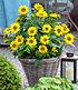"Winterharte Sonnenblume ""SunCatcher®"",1Pflanze (5)"