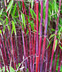 Bambus-Raritäten Kollektion,2Pflanzen (2)