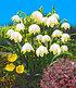 Bienenfreundliche Zwiebelblumen,147 Zwiebeln (2)
