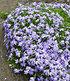 Blauer Teppich-Phlox 25 Stk.,25 Pflanzen (2)
