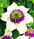 Clematis-Raritäten-Sortiment zum Vorteilspreis, 2 Pflanzen (2)