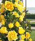 """Delbard Kletter-Rose """"Dune®"""",1 Pflanze (2)"""
