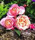 "Delbard Rose der Liebe ""Dames de Chenonceau®"",1 Pflanze (2)"
