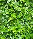 "Efeu ""Baltica"",3 Pflanzen (2)"