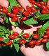 "Goji ""Sweet Lifeberry®"",1 Pflanze (2)"
