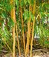 Goldener Peking Bambus,1 Pflanze (2)