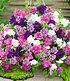 "Hänge-Petunien ""Viva®"" doppelt-violett,3 Pflanzen Petunia (2)"