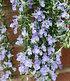 Hänge-Rosmarin 'Blue Cascade®',1 Pflanze (2)
