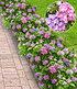 Hortensien-Hecke Forever & Ever® Hortbux®,2 Pflanzen (2)