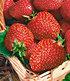 """Immertragende Erdbeere """"Seascape®"""",6 Pflanzen (2)"""