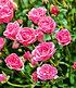"Lilly Rose® ""Wonder5"",1 Pflanze (2)"