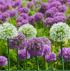 Mein schöner Garten Blumenzwiebel Allium-Mix (2)