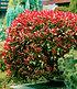 """Mein schöner Garten Photinia Hecken-Set """"Trend"""", 10 Pflanzen (2)"""