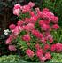 Mein schöner Garten Rispenhortensie (2)