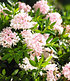 """Rhododendron """"Nugget by Bloombux®"""",1 Pflanze (2)"""