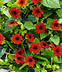 "Rote Thunbergia ""Brownii"",2 Pflanzen (2)"