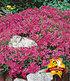 Roter Teppich-Phlox 25 Stk.,25 Pflanzen (2)