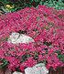 Roter Teppich-Phlox 50 Stk.,50 Pflanzen (2)