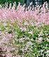 "Salix-Hecke ""Hakuro Nishiki"",1 Pflanze (2)"