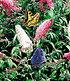 "Sommer-Flieder ""Papillion Tricolor"",1 Pflanze (2)"