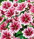 """Stauden-Malve """"Zebrina"""",3 Pflanzen (2)"""